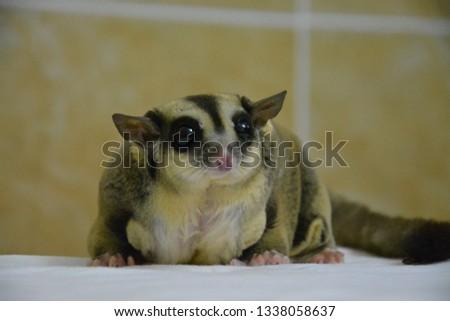 sugarglider animals pets cute #1338058637