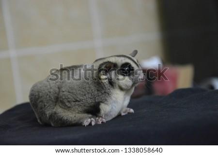 sugarglider animals pets cute #1338058640