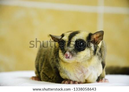 sugarglider animals pets cute #1338058643