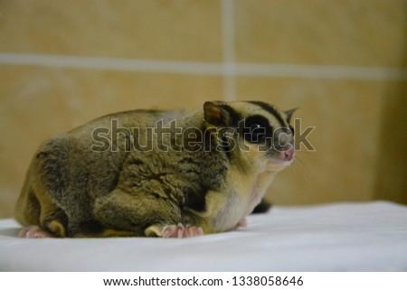 sugarglider animals pets cute #1338058646