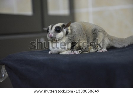 sugarglider animals pets cute #1338058649