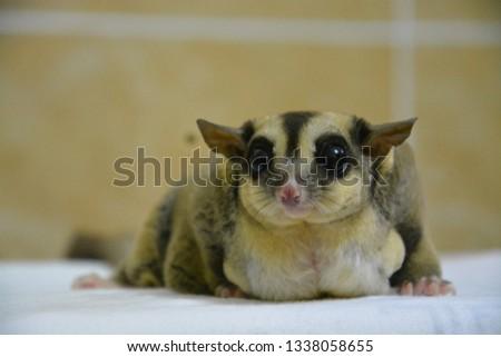 sugarglider animals pets cute #1338058655