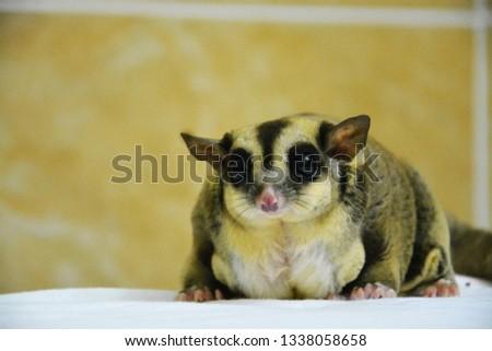sugarglider animals pets cute #1338058658