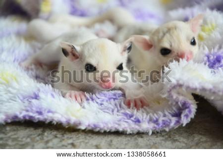 sugarglider animals pets cute #1338058661