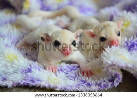 sugarglider animals pets cute #1338058664