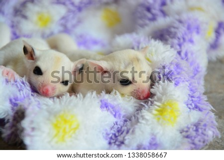 sugarglider animals pets cute #1338058667