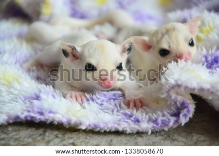 sugarglider animals pets cute #1338058670