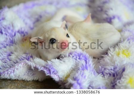 sugarglider animals pets cute #1338058676