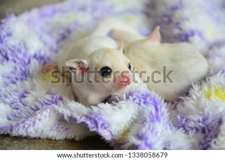 sugarglider animals pets cute #1338058679