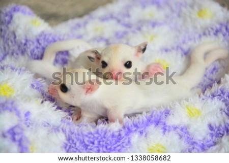 sugarglider animals pets cute #1338058682
