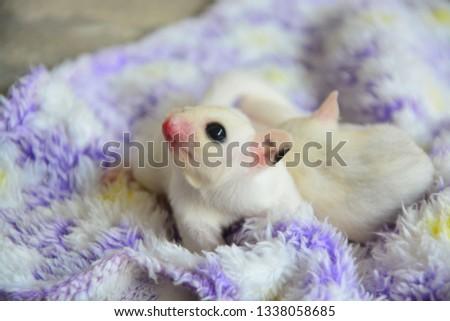 sugarglider animals pets cute #1338058685