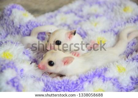 sugarglider animals pets cute #1338058688