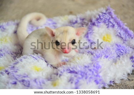 sugarglider animals pets cute #1338058691