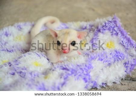 sugarglider animals pets cute #1338058694
