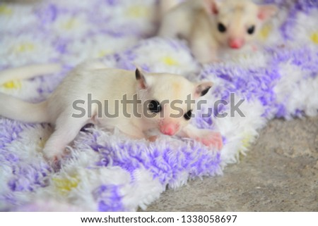 sugarglider animals pets cute #1338058697