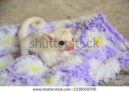 sugarglider animals pets cute #1338058700