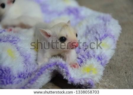 sugarglider animals pets cute #1338058703