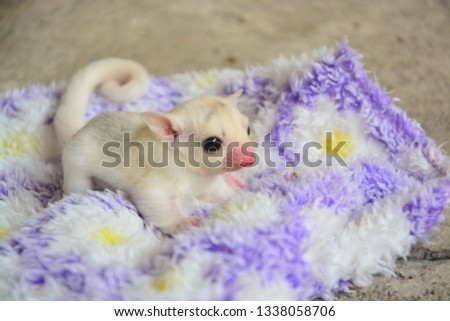 sugarglider animals pets cute #1338058706