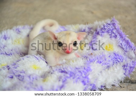 sugarglider animals pets cute #1338058709