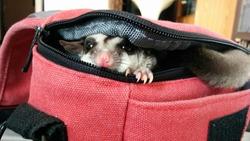 Sugarglider hiding in a canvas bag.