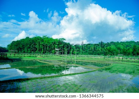 sukorame rice field, rice field in the morning, Paddy fields with new seedlings
