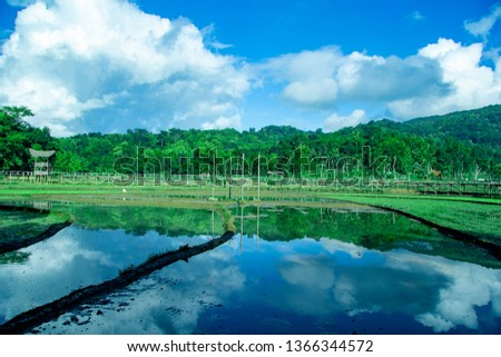 sukorame rice field, rice field in the morning, Paddy fields with new seedlings, a bridge made of bamboo #1366344572