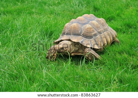 sulcata (african spurred) turtle over freen grass