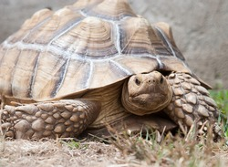 Sulcata Tortoise outside in nature with its huge carapace shell and large spurs on its legs looking at the camera for a closeup portrait
