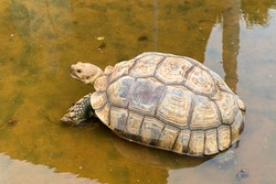 Sulcata turtle on shallow water. (African spurred tortoise, Turtle)