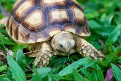 Sulcata turtle, Tortoise in the green grass; baby turtle (Testudo hermanni) eating and walking on fresh grass.