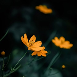 Sulfur cosmos: a species of Cosmos, also known as Orange, Yellow and Klondike cosmos, its botanical name is Cosmos sulphureus.
