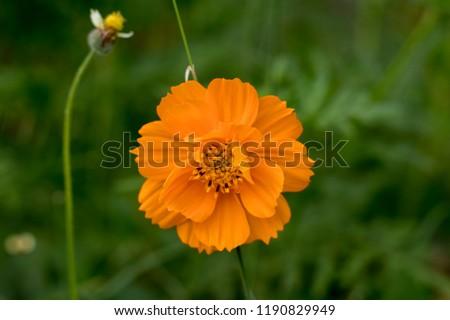 Sulfur cosmos, Cosmos sulphureus and spanish needle flower at Pollachi, Tamil Nadu, India