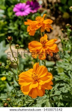 Sulfur Cosmos (Cosmos sulphureus) in garden