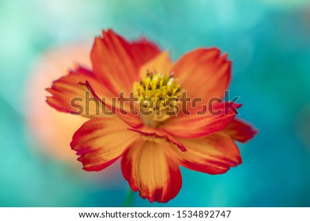 Sulfur Cosmos or Orange Cosmos in the garden.Beautiful selective focus Mexican Aster flower.