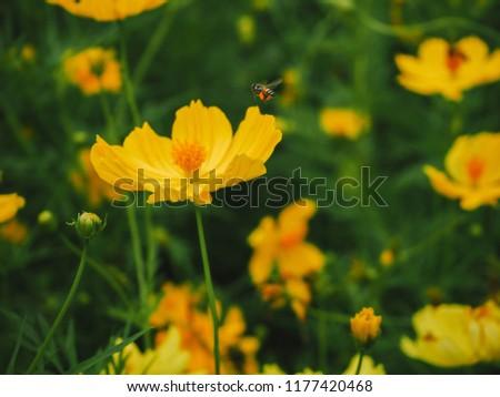 Sulfur Cosmos or Yellow Cosmos