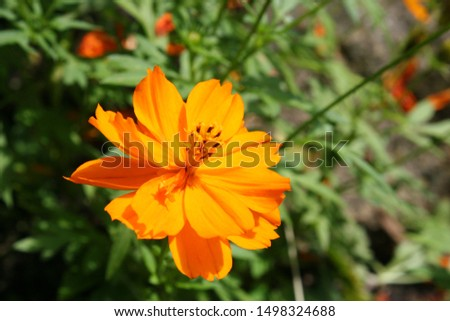Sulfur cosmos or yellow cosmos (Cosmos sulphureus) orange flower close-up