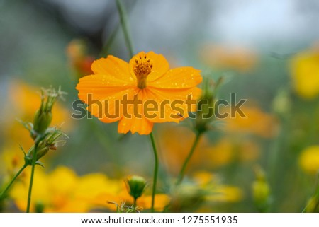 Sulfur cosmos or yellow cosmos flowers