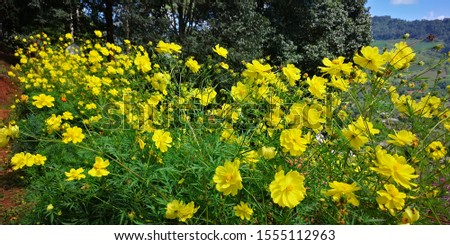 Sulfur Cosmos or Yellow Cosmos garden.