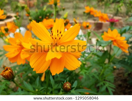 Sulfur cosmos Picture, Cosmos sulphureus is also known as sulfur cosmos and yellow cosmos.