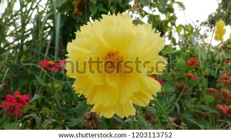 Sulfur Cosmos / Yellow Cosmos Thai Flowers