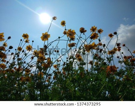 Sulfur Cosmos , Yellow Cosmos when the sun shine at noon, sunny day.