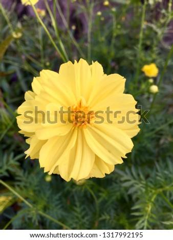 Sulfur Cosmos, Yellow Cosmos, yellow flower, Starburst flowers