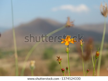 Sulfur Cosmos (Yellow Cosmos) yellow flower with mountain backgrounds.