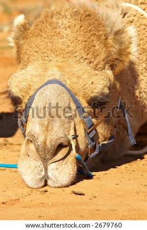sulking camel