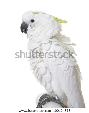 Sulphur-Crested Cocatoo isolated on white