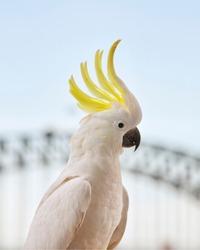 Sulphur crested Cockatoo and Sydney Harbour Bridge