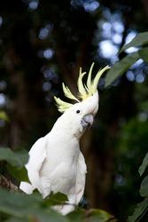 Sulphur Crested Cockatoo (Cacatua galerita) on branch in natural surroundings in Australia