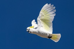 Sulphur-crested Cockatoo flying and crying in the sky