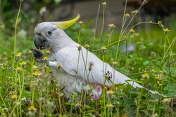 Sulphur crested cockatoo grasing in a meadow in airlie beach, australia
