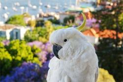 Sulphur crested Cockatoo in Sydney